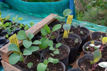 Se entregarán plantines de verdura